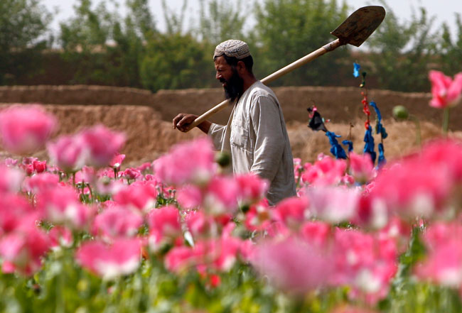 a opium farmer and his fields in Afghanistan
